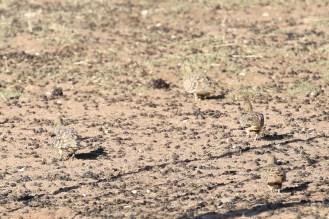 Namaqua Sandgrouse - male and 3 females