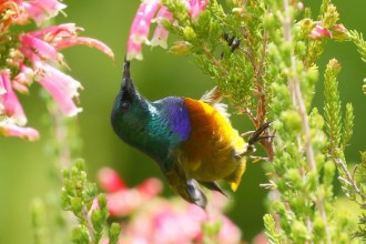 Orange-breasted Sunbird - tailless