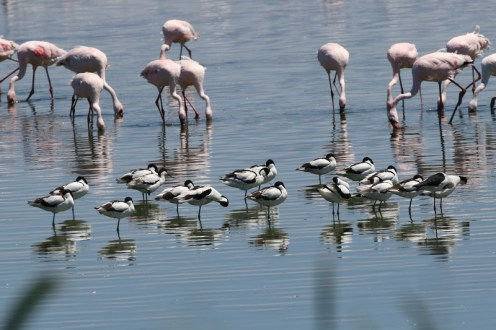 Pied Avocets among Greater Flamingos