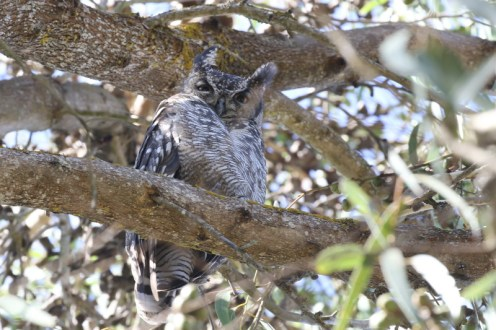 Spotted Eagle-Owl in a nearby tree