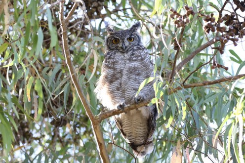 Spotted Eagle-Owl above us
