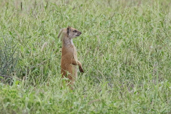 Yellow-tailed Mongoose