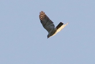 African Goshawk starting its dive