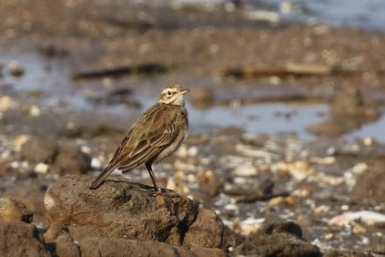 African Pipit seen on the beach