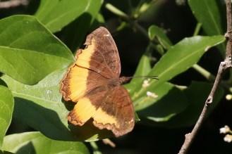Golden Piper