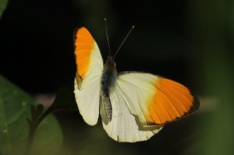 Sulphur Orange Tip - male