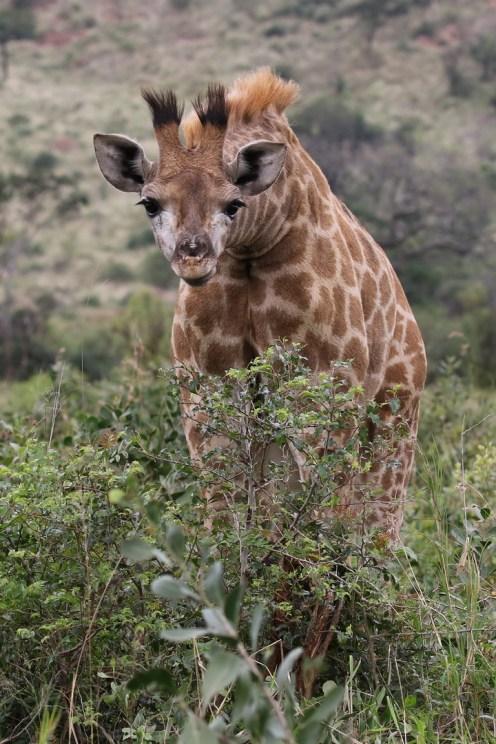 Inquisitive young Giraffe