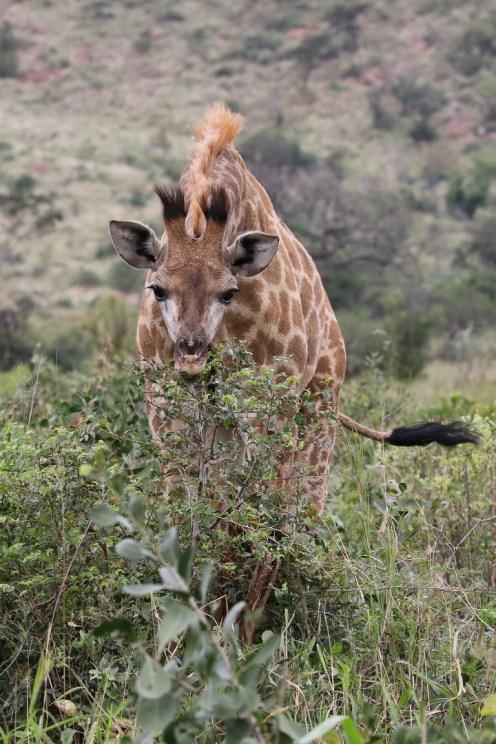 More aggressive posture - young Giraffe
