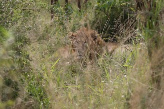Two male lions -very obscured