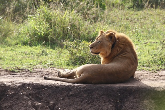 Another male Lion relaxing in the sun