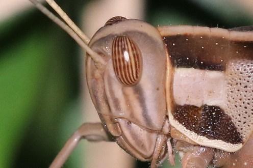Locust head