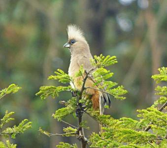 Spectacled Mousebird