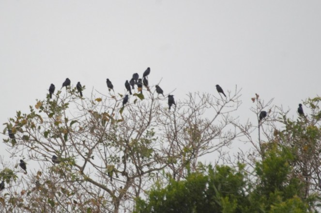 Starlings - Red-winged or Black-bellied