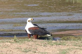 African Fish-Eagle with two heads
