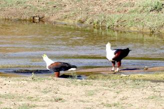 African Fish-Eagles calling together