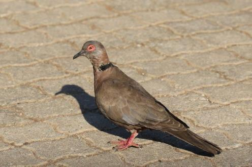 African Mourning Dove _resize