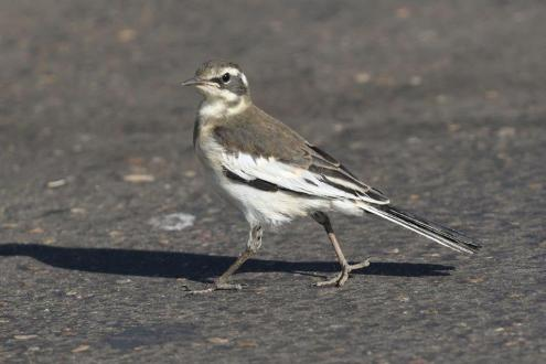 African Pied Wagtail - juvenile