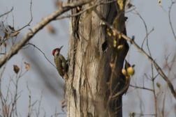 Bennett's Woodpecker - male