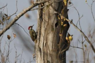 Bennett's Woodpecker - male