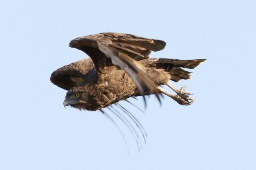 Brown Snake-Eagle in flight