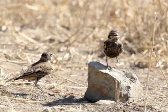 Chestnut-backed Sparrow-Larks