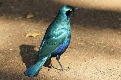 Greater Blue-eared Starling