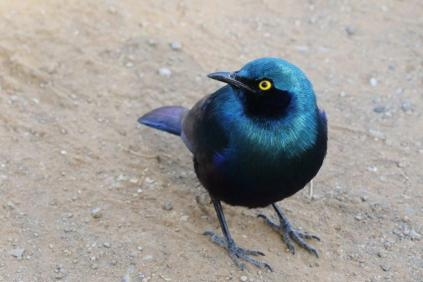 Greater Blue-eared Starling - same bird, different light