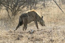 Hyena - spotted