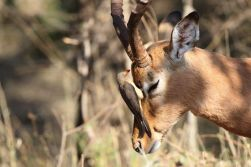 Impala with Red-billed Oxpecker