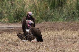 Lappet-faced Vultures