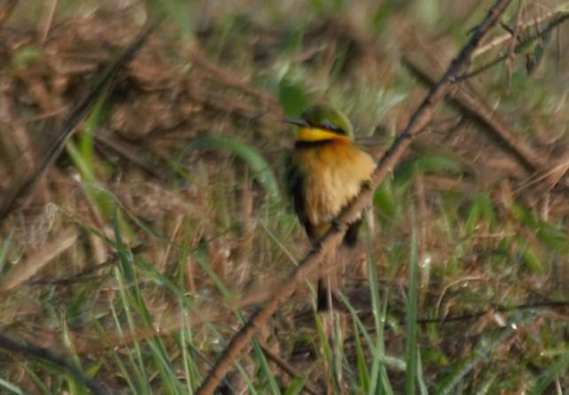 Little bee-eater - John Bremner