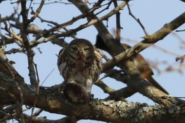 Pearl-spotted Owlet with bloody nose