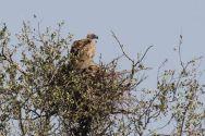 White-backed Vulture on nest