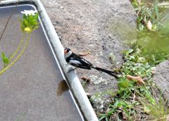 Pin-tailed Whydah - male
