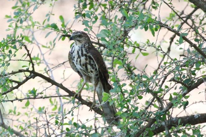 African Goshawk - juvenile