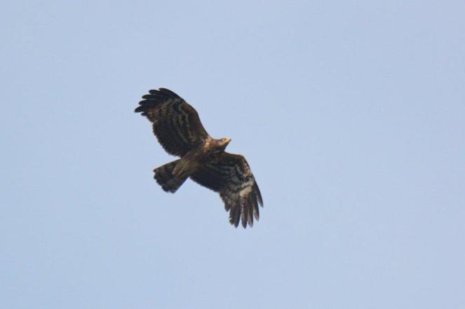 African Harrier-Hawk - Dave Rimmer