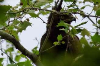 Long-crested Eagle -Decklan Jordaan