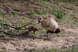 Egyptian Goose being chased by a slender mongoose