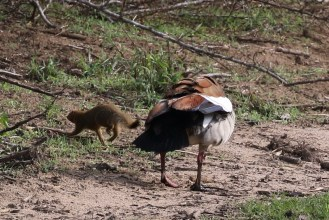 Egyptian Goose giving returning the favour