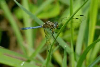Dragonfly - Hennie Jordaan