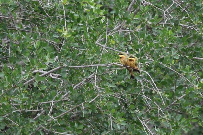 Little Bee-eaters