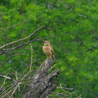 Rufous- naped lark