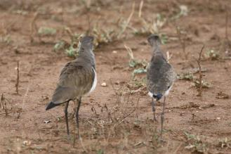 Senegal Lapwing - adult and juvenile