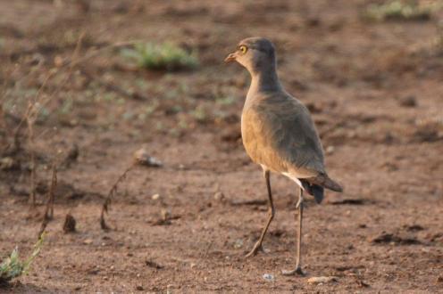 Senegal Lapwing - juvenile