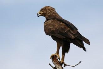 Wahlberg's Eagle, I'm off