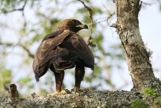 Wahlberg's Eagle, ready for the off