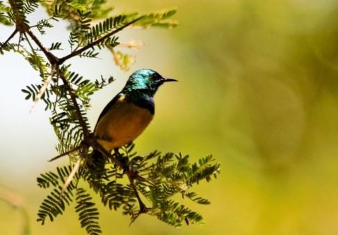 Collared Sunbird - John Bremner