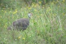 Helmeted Guineafowl -John Bremner