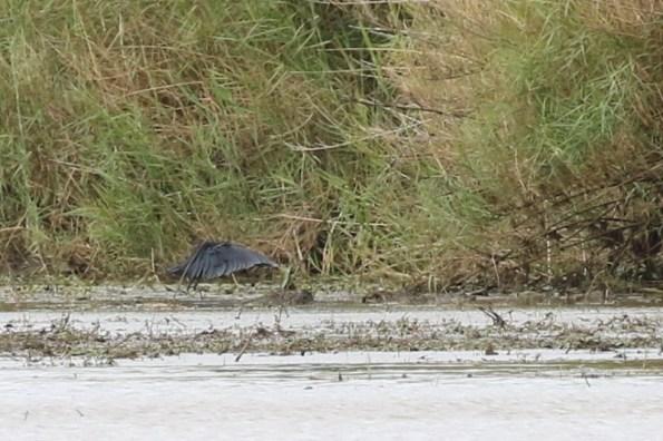Black Heron - fishing - Paul Bartho