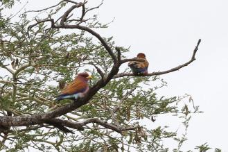Broad-billed Rollers harassing the Bateleur